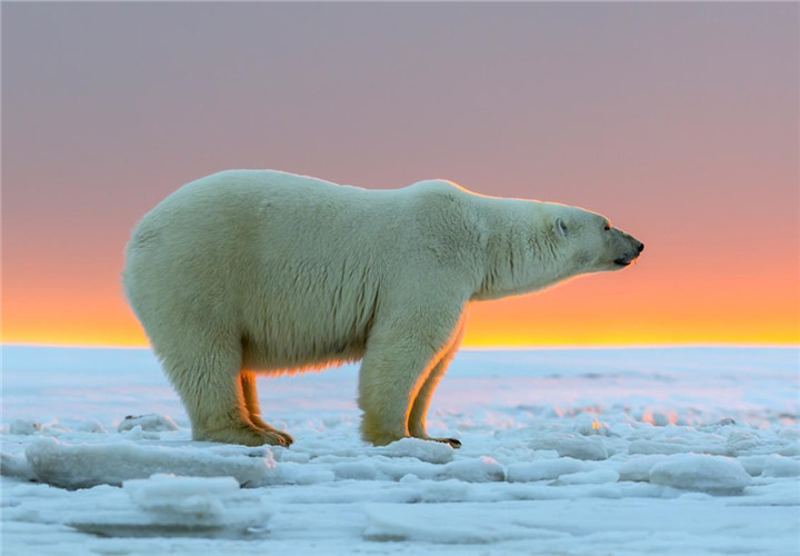 how-big-do-polar-bears-get_7b8990a2-05f5-4658-a663-264134df9eb1_副本